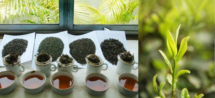 千芳齊放,紅茶品種