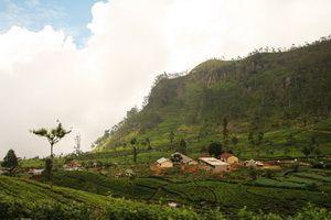 終於見面,錫蘭茶鄉Uva