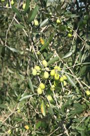 豔陽下的,托斯卡尼橄欖油